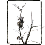 Low Angle Views Prints - Branch of dried out flowers. Print by Bernard Jaubert