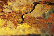 Selective Focus Posters - Branch Of Japanese Maple In Autumn Poster by Benjamin Torode