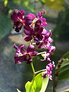 Violett Photos - Branch Of Orchids by Christiane Schulze