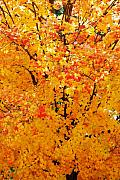 Fall Leaves Acrylic Prints - Branches Beneath Fall Beauty Acrylic Print by Peter  McIntosh