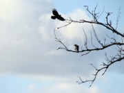 Common Crows Prints - Branches Print by Gothicolors And Crows