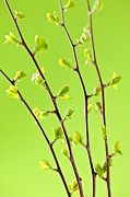 Sprout Framed Prints - Branches with green spring leaves Framed Print by Elena Elisseeva