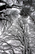 Mark Denham - Branches with snow