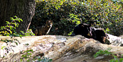 Black Bear Photos - Brave One by Melissa Petrey