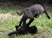 Images Of Cats Photos - Brawl by Rdr Creative