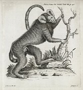 1751 Framed Prints - Brazilian Marmoset, 18th Century Framed Print by Middle Temple Library