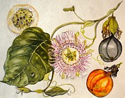 Passion Fruit Painting Prints - Brazilian Passion Fruit             Passiflora ligularis Seme Print by Sandra Phryce-Jones