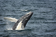 Humpback Whale Metal Prints - Breaching Humpback Whale Metal Print by Jim  Calarese