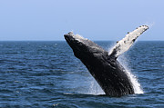 Whale Photo Originals - Breaching  by Lori Whalen
