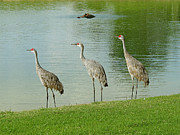 Sandhill Cranes Prints - Breakfast Lunch and Dinner Print by Adele Moscaritolo