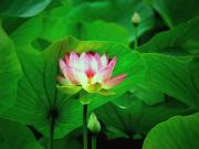 Lotus Leaves Prints - Breakthrough Print by Marion Cullen