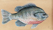 Fly Fishing Mixed Media Prints - Bream on the Fly Print by H C Denney