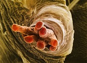 Pupa Posters - Breathing Tube On A Fruit Flys Pupa, Sem Poster by Dr Jeremy Burgess