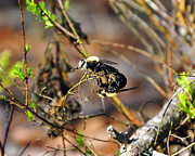 Breeding Posters - Breeding Bees Poster by Al Powell Photography USA