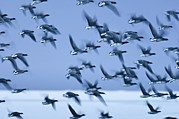 British Nature Prints - Brent Goose Flock In Flight Print by Duncan Shaw