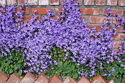 Bellflower Prints - Brick Wall with Blue Flowers Print by Carol Groenen