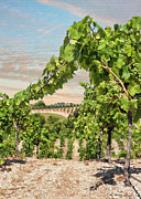 Wine Grapes Prints - Bridlewood Framed Print by Sharon Foster