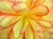 Begonias Posters - Bright Begonia Poster by Terence Davis