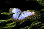 Zebra Butterfly Acrylic Prints - Bright Blue  Acrylic Print by Leslie Leda