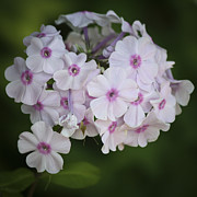 Phlox Photo Prints - Bright Eyed Phlox Squared Print by Teresa Mucha