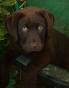 Labrador Photos - Bright Eyes by Larry Marshall