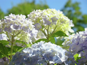 Blue Flowers Photos - Bright Floral art Pastel Blue Purple Hydrangeas Flowers Baslee Troutman by Baslee Troutman Fine Art Photography