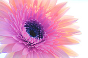Wendy Riley- Athans - Bright Gerbera