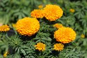 Pom Poms Posters - Bright Gold Marigolds Poster by Linda Phelps