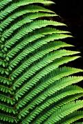 Fresh Green Posters - Bright Green Fern Poster by Carl Shaneff - Printscapes