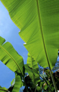 Banana Tree Posters - Bright green leaves of banana trees Poster by Sami Sarkis