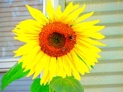 Amy Bradley Art - Bright Happy Sunflower face by Amy Bradley