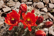 Prickers Photos - Bright Orange Cactus Blossoms by Phyllis Denton