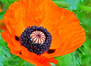 Vibrant Color Art - Bright Orange Poppy by Karon Melillo DeVega
