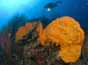 New Britain Prints - Bright Orange Sponge With Diver Print by Steve Jones