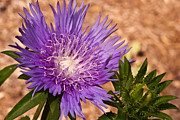 Pincushion Flower Prints - Bright Pincushion Print by Douglas Barnett