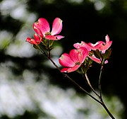 Deep Pink Prints - Bright Pink Dogwood Print by Beth Akerman
