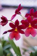 Dendrobium Photos - Bright Pink Orchids by Allan Seiden - Printscapes