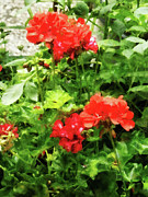 Geraniums Framed Prints - Bright Red Geraniums Framed Print by Susan Savad