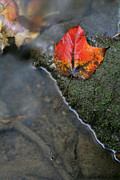 Yellow Leaves Posters - Bright Red Leaf Near a Stream Poster by Chris Hill