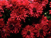 Bright Red Mums Print by Scott Hovind