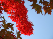 Red Leaves Photos - BRIGHT RED SUNLIT AUTUMN LEAVES Fall Trees by Baslee Troutman Fine Art Prints Collections