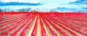 Washington State Skagit County Paintings - Bright Red Tulips of Skagit County by Bob Patterson