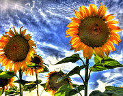 Joe Paniccia - Bright Sunflower