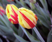 Photos With Red Photo Prints - Bright Yellow and Red Tulips Print by Kami McKeon
