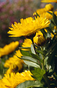 Kangaroo Island Photos - Bright Yellow Calendula Flower Petals by Jason Edwards