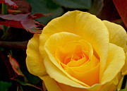 Red Leaves Acrylic Prints - Bright Yellow Rose Acrylic Print by Kaye Menner