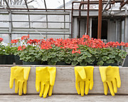 Plant Nursery Posters - Bright Yellow Rubber Gloves and Geraniums Poster by Thom Gourley/Flatbread Images, LLC