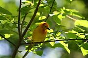 Bright Yellow Songbird Print by Christina A Pacillo