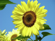 Sun Flowers Framed Prints - BRIGHT YELLOW SUNFLOWER Art Prints Blue Sky Baslee Troutman Framed Print by Baslee Troutman Fine Art Prints Collections