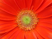 Gerbera Art - Brighteyes by Marla McFall